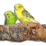Vogelgaleria-Tolles-Korksitzbrett-gro-fr-Vgel-Wellensittich-Kork-Sitzbrett-20x10-cm-als-perfektes-Zubehr-im-Kfig-Kork-Rinde-ist-ein-groartiges-Spielzeug-fr-Nymphensittich-und-Papagei-0